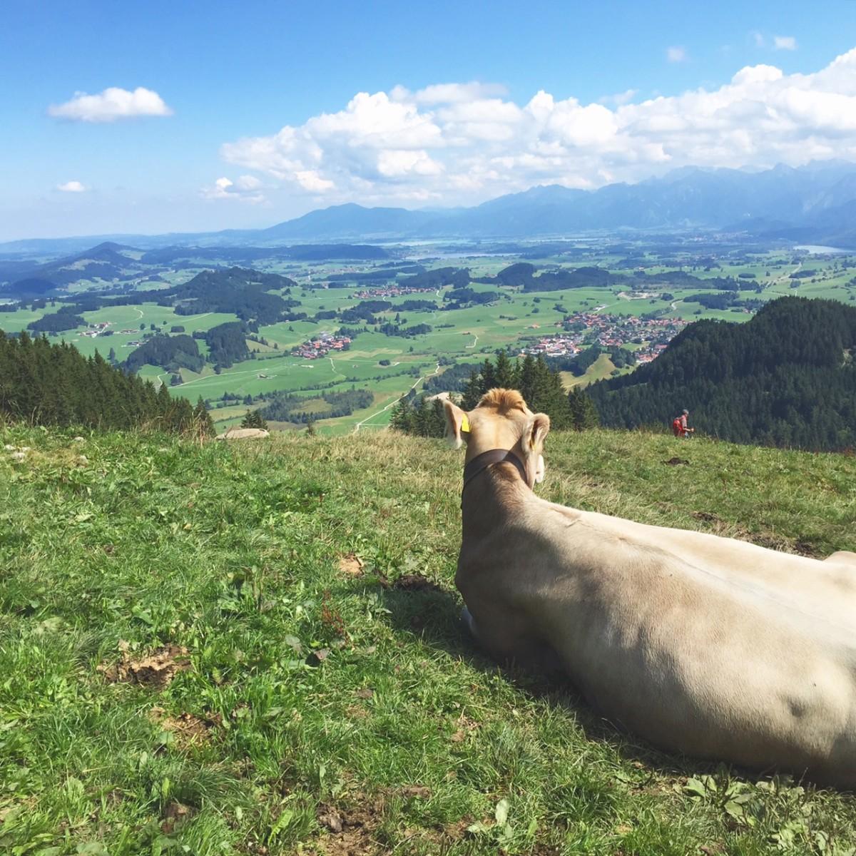 glückliche Kühe im Allgäu
