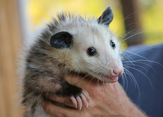 possum-478162_1400px