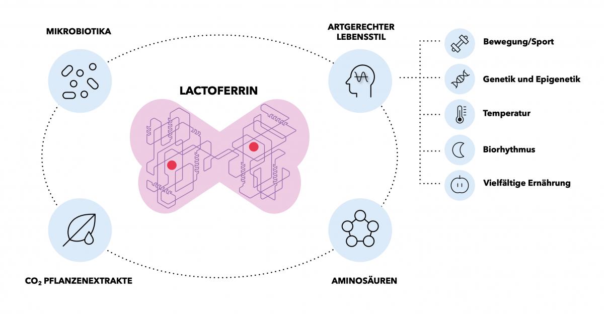 lactoferrin_aufbau